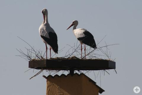 Die beiden Störche im neuen Nest.